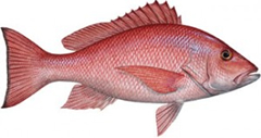 Red Snapper in Daytona